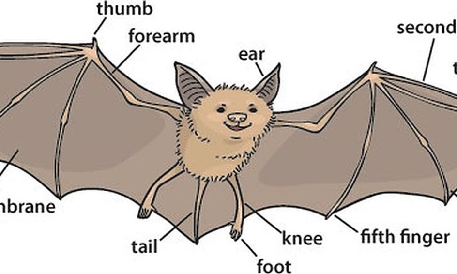 Bat Anatomy Life Cycle Of The Bat Flying Bat Stem Activity Small Online Class For Ages 6 10 Outschool