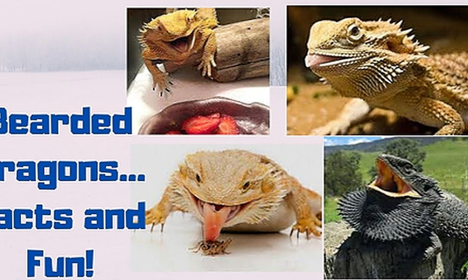 Bearded Dragons Wild And Wonderful Small Online Class For Ages 7 12 Outschool