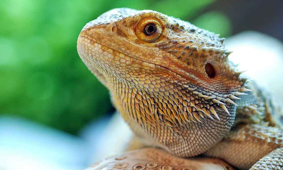 Dragons Down Under The Amazing Bearded Dragon Small Online Class For Ages 10 15 Outschool