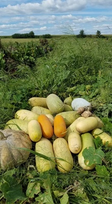 Hmong cucumbers