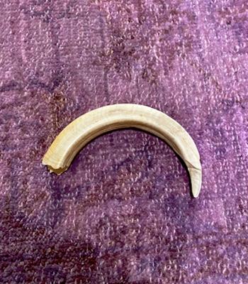warthog tusk that killed great grandpa.
