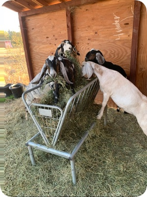 The goats are enjoying their food.