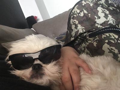 small white dog wearing black sunglasses