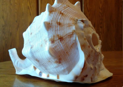 A large white shell with brown dots.